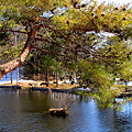 松から覗く池