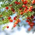 オンコの赤い実