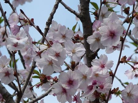 100518-富士芝桜まつり-63