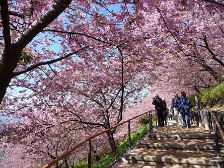 110305-松田山 河津桜 (52)