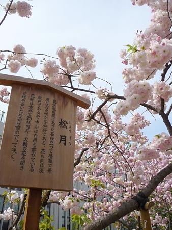 110417-造幣局 桜の通り抜け (100)