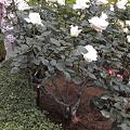 Photos: 旧古川庭園のバラ仕立て
