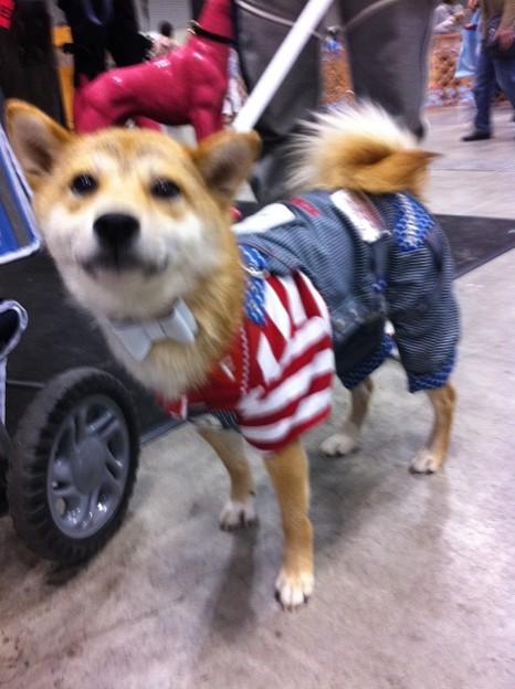 柴犬のおしゃれさん、こんにちは!