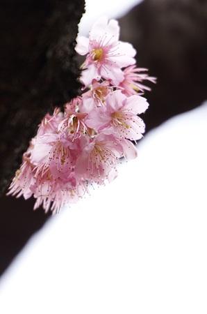 桜三態 −椿寒桜−