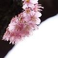 Photos: 桜三態 -椿寒桜-