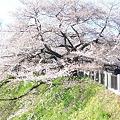 Photos: 100408 日本武道館の桜3