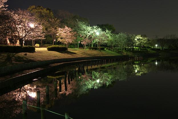 北条・大池の夜桜
