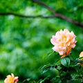 写真: バラでしょうか? NEX5 FD50 F1.4