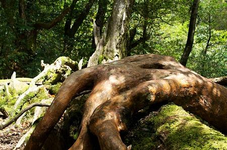 白谷雲水峡の木その5