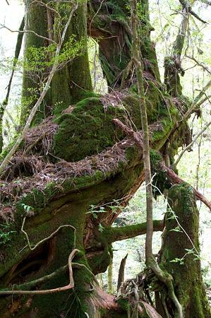 白谷雲水峡の木その11