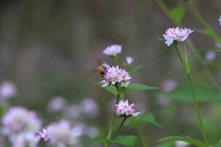 2011.11.07 和泉川 ミゾソバにミツバチ