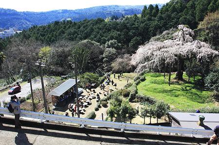 2010.03.30 小田原 長興山 枝垂桜-3