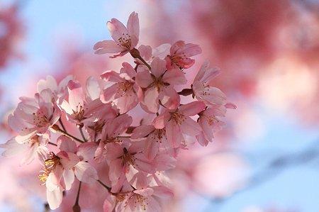 2010.04.08 和泉川 枝垂桜の下