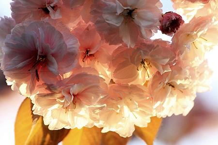 2010.04.25 和泉川 八重桜-1