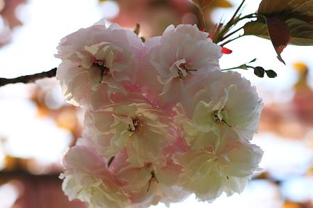 2010.04.26 和泉川 八重桜