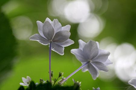 2010.06.22 和泉川 紫陽花