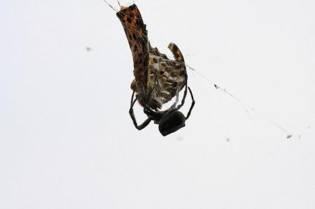 2010.06.22 和泉川 蜘蛛の巣にキタテハ