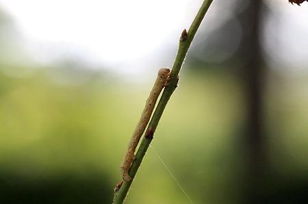 2010.07.17 追分市民の森 シタバ 幼虫(尺取虫)