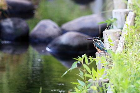 2010.08.05 和泉川 カワセミ