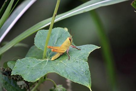 2010.09.30 和泉川 ツチイナゴの幼虫