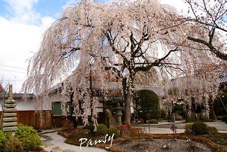 しだれ桜・・本満寺