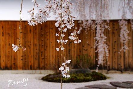 しだれ桜・・本満寺3