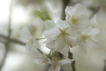真っ白な桜・・