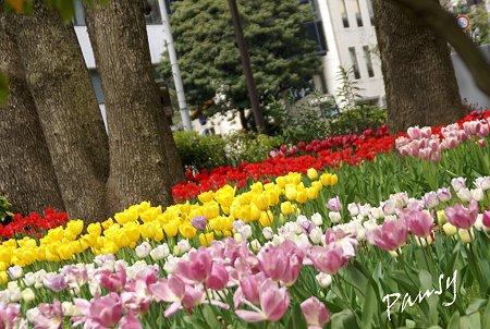 横浜公園のチューリップ・・3