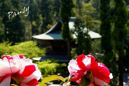 牡丹咲く寺院・・4