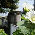 写真: 芙蓉咲く橋・・