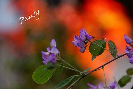 楓を背に・・雲南萩
