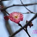 Photos: 八重寒紅