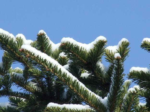 モミの木の雪