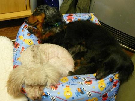 小さいベッドで寝てみたり(上から乗られようが寝てるし)