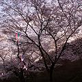 写真: 夕焼け桜