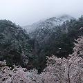 写真: 矢祭山、満開の桜と雪景色