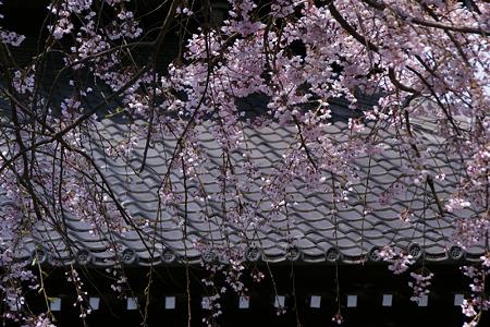 空から枝垂れる糸桜、本覚寺!(100327)
