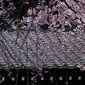 Photos: 空から枝垂れる糸桜、本覚寺!(100327)