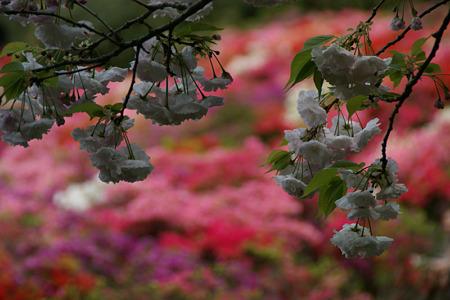 八重桜の花見!(100424)
