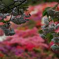 Photos: 八重桜の花見!(100424)
