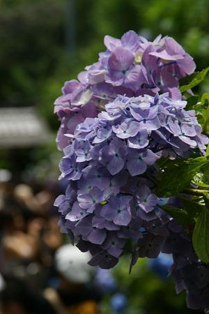 紫陽花の参道、成就院!(100819)