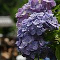 Photos: 紫陽花の参道、成就院!(100819)
