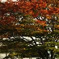 Photos: 紅葉の街路樹101103-319