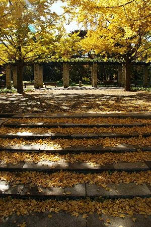 イチョウの階段!(101111)