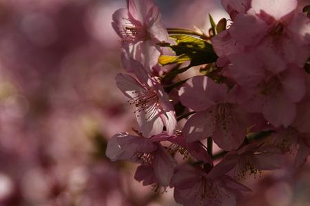 河津桜を愛でる!(110226)