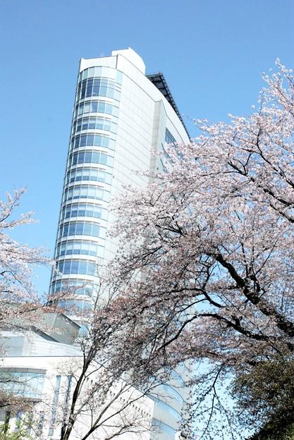 市庁舎東面・巨木の桜が覆う-1-D8-0413-67