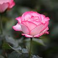 薔薇の思い