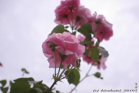 ピンク色の薔薇