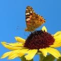 秋の向日葵とツマグロヒョウモン蝶