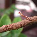 スターフルーツの花芽